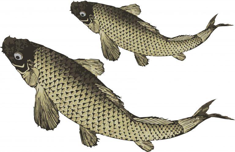 コイ釣りを始めたい!絶対に初心者でも30cm以上の鯉が釣れる